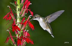 Ruby-throated Hummingbird (jt893x) Tags: 150600mm archilochuscolubris bif bird d500 female hummingbird jt893x nikon nikond500 rubythroatedhummingbird sigma sigma150600mmf563dgoshsms thesunshinegroup alittlebeauty coth coth5 ngc