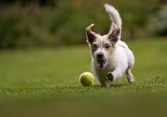 Maxi - The Rocket - in full action (VintageLensLover) Tags: terrier hunde haustiere parsonjackrussell inaction tierfotografie dof schärfentiefe schärfeverlauf bokeh sonya7iii sigmaart135mmf18