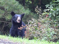 1724ex checking the berry bushes (jjjj56cp) Tags: bear ursa americanblackbear inthewild foraging berry berries blackberries blackberrybush summer july closeup tn tennessee smokies greatsmokymountains cabin p1000 coolpixp1000 nikoncoolpixp1000 jennypansing woods woodlands forest