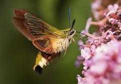 Taubenschwänzchen (Sebo23) Tags: macro makrofotografie makro taubenschwänzchen hawkmoth insekt naturaufnahme natur nahaufnahme nature canon10028l canoneosr bokelisious bokeh