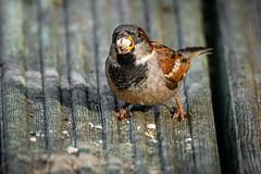 Sparrow (_John Hikins) Tags: sparrow bird birds wildlife nikon nikkor nature sigma garden animal feeding food suet pellet 150600mm 150600c 150600 contemporary devon d500