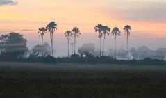 Misty sunrise - Moremi game reserve - Delta of Okavango - Botswana (lotusblancphotography) Tags: africa afrique botswana okavango sunrise aube mist brume sky ciel clouds nuages landscape paysage nature trees arbres