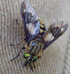 tabanidae (BSCG (Badenoch and Strathspey Conservation Group)) Tags: acm diptera tabanidae july