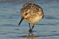 Sanderling on the tide line at Dungeness NNR (GrahamParryWildlife) Tags: sea reflection bird beach water kent sand wave drip reflected foam dungeness sandpiper dripping gentle sanderling wader lapping kentwildlife grahamparrywildlife new uk people brown sunlight public up field animal sport landscape photo flickr close you outdoor sigma tags follow 150 add 600 7d mk2 member viewing depth commenting additional global rspb a 150600