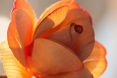 Wooden Rose (Gisou68Fr) Tags: macromondays madeofwood wood bois rose