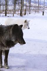 Yamnuska Wolfdogs (lauren.bunker92) Tags: yamnuska alberta canada wolf wolves dog dogs wolfdog wolfdogs snow winter predator
