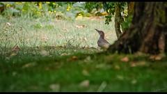 Mister YoungPecker (Alexandre LAVIGNE) Tags: europeangreenwoodpecker format1851 hdpentaxdfa150450mm pentaxk1 picusviridis picvert 2019 eté faune ambiance bird immature juvénile k1 lumière nature oiseau pivert lécluse nord france