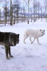 Yamnuska Wolfdogs (lauren.bunker92) Tags: alberta canada yamnuska wolf dog wolves dogs wolfdog wolfdogs winter snow