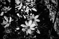 Des fleurs, un insecte. Ennui. (LACPIXEL) Tags: fleur flower flor insecte insect insecto blancoynegro blackwhite noiretblanc street sony flickr ennui aburrimiento boredom lacpixel