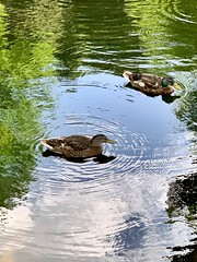 Ducks enjoying the sunshine (Baz2016) Tags: sunning hot wings canals rivers water wildlife ducks