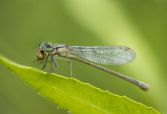 Drangonfly (Sebo23) Tags: macro makrofotografie makro naturaufnahme natur nature stacking canoneosr canon10028l insekt insect bokeh bokelisious