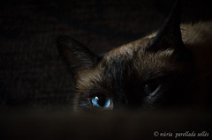 Mirada felina / Feline look (nuriapase) Tags: cat pet animal love eye blue lowkey nikon portrait mascota
