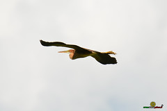 A-LUR_9155 (OrNeSsInA) Tags: trasimenowakepark ornessina umbria nokomu polveserep isolapolvese italiastyletrasimemo trasimenolake porteapertetrasimeno airone airon cormorano granchio