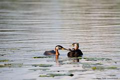 Red-necked-Grebe! (petergranström) Tags: approved gråhakedopping red necked grebe bird fågel water vatten nestlings fågelungar