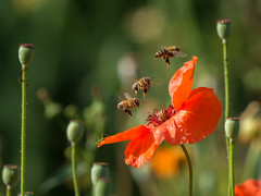 They all love poppys (de_frakke) Tags: poppy flower red bloem rood bees insecten grasshopper