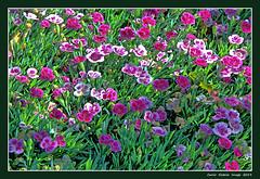 Small carnations (cienne45) Tags: carlonatale cienne45 natale carnations garofani garofanini flowers fiori spring primavera