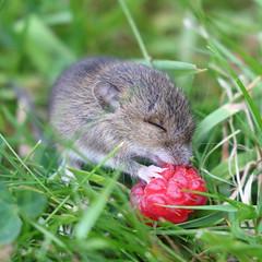 Garden Wildlife (Treflyn) Tags: baby rodent back garden raspberry bush grateful earley reading berkshire uk wild wildlife rat mouse