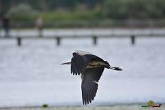 A-LUR_8959 (OrNeSsInA) Tags: trasimenowakepark ornessina umbria nokomu polveserep isolapolvese italiastyletrasimemo trasimenolake porteapertetrasimeno airone airon cormorano granchio