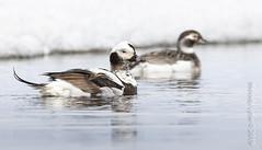 Long-tailed Ducks, pair (karenmelody) Tags: usa bird birds animal animals alaska duck ducks anatidae anseriformes longtailedduck clangulahyemalis unitedstatesofamerica vertebrate vertebrates nearbarrow utqiaġvik