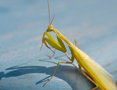 Mantodea / Modliszka / Mantis (agnieszka.a.morawska) Tags: summer bokehlicious beyondbokeh bkhq nature insect helios mantodea modliszka mantis