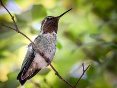 Little Visitor (helenehoffman) Tags: crepemyrtle california annas aves tree bird conservationstatusleastconcern hummingbird calypteanna sandiego animal coth alittlebeauty coth5