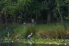 The Heron (joeke pieters) Tags: 1480729 panasonicdmcfz150 reiger blauwereiger heron vogel bird palingven kampina oisterwijksevennenenbossen natuurreservaat naturereserve boxtel noordbrabant nederland netherlands holland landschap landscape landschaft paysage hetgroenewoud3