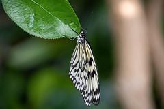 Beautiful (eternalmoments13) Tags: iowa2019 reimangardens butterfly white blackandwhite flutter