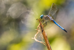 Great Blue Skimmer (Bernie Kasper (6 million views)) Tags: art berniekasper blue color colour colors d750 digital eyes family fun dragonfly greatblueskimmer hiking indiana insect insects image jeffersoncounty light landscape love madisonindiana macro nature nikon naturephotography new outdoors outdoor old outside photography park photos photo people raw sigma summer travel trail unitedstates usa swamp home nikkor bar