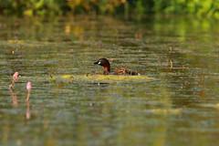 Little grebe (jon lees) Tags: littlegrebe bird pond waterfowl northumbria england uk wildlife