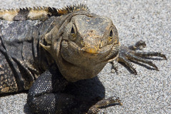 Iguana (Rob Schleiffert) Tags: costarica manuelantonio iguana lizard