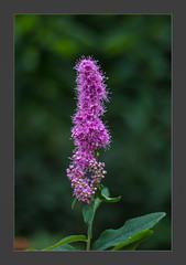 Kolbenspiere (blasjaz) Tags: pflanze pflanzen blüten botanik rosaceae blütenstand spiraeabillardii blasjaz spieraee patternsinnature