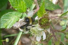 branco (abelhário) Tags: amora braam bee bij abelha summer verão zomer alemanha duitsland germany bramble biene sommer deutschland brombeere floresta forest bos wald