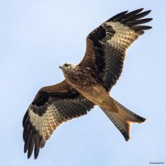 Red Kite (Nodulespix) Tags: redkite birdofprey scavenger bird flight soaring flying gliding
