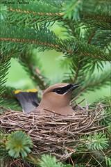 Cedar Waxwing On Nest (Daniel Cadieux) Tags: waxwing cedarwaxwing nest nesting forest evergreen spruce ottawa vertical