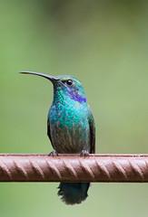 Hummingbird (Rob Schleiffert) Tags: costarica kolibrie hummingbird monteverde