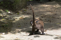 Are you following me? (Rob Schleiffert) Tags: costarica arenal coati