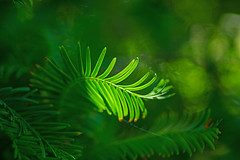 Evergreen (L@nce (ランス)) Tags: green needles conifer macro micro nikkor nikon victoria britishcolumbia