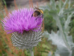 roxo (abelhário) Tags: distel thistle duitsland germany alemanha bee bij abelha cardo summer zomer sommer verão biene deutschland