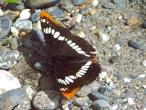 One of the Admiral Butterflies