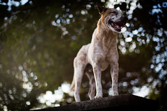 Bali temple dog.. (paul.wienerroither) Tags: dog animal bali indonesia asia light travel travelphotography traveltheworld uluwatu temple streetphotography photography canon 50mm 5dmk3 5dmarkiii bokeh dof depthoffield beautiful beautifulworld strong balidog