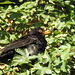 Blackbird DSCN2815