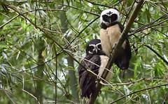 Búho de Anteojos - Pulsatrix perspicillata (Gercoja) Tags: birding armenia quindio colombia avifauna naturaleza verde búho de anteojos pulsatrix perspicillata