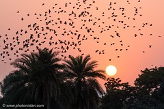 Sun set with flock of Birds (Photonistan) Tags: birds sun flock sunset delhi india photonistan photography wild life beautiful nature telephoto lens camera