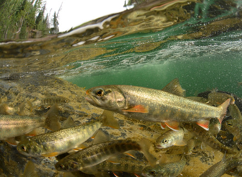 Flickriver: Most interesting photos from North American Native Fish pool