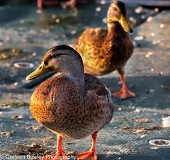 Mallard (Graham Bowley) Tags: summer riverthames wildlife reading birds mallard evening ducks berkshire