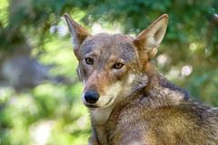 Who's afraid? (ucumari photography) Tags: ucumariphotography north carolina nc zoo july 2019 canislupus redwolf wolf animal mammal flint dsc5491 specanimal