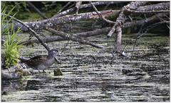 In the Swamp (robinlamb1) Tags: nature aixsponsa woodduck duck bird animal outdoor