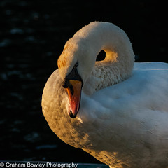 Swan (Graham Bowley) Tags: wildlife birds summer riverthames berkshire evening swan reading