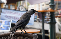 In a fish restaurant (Julysha) Tags: birds hoorn summer 2019 july harbour acr thenetherlands noordholland d850 sigma241054art restaurant chair
