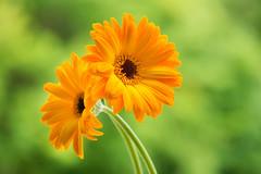 gerbera 5066 (junjiaoyama) Tags: japan flower plant gerbera orange yellow summer macro bokeh
